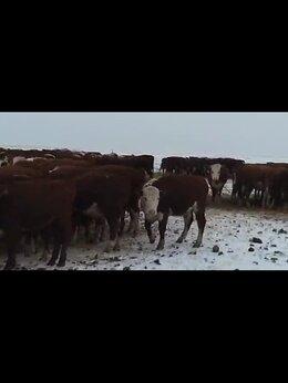 Сельскохозяйственные животные - Герефорд тёлки и бычки, 0