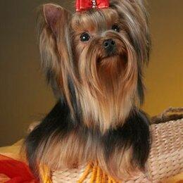 Собаки - Щенки йорка , из племенного питомника, 0