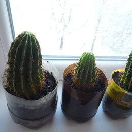 Комнатные растения - Комнатные растения: Кактус Эхинопсис, или ежовый кактус echinopsis, 0