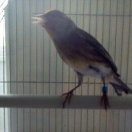 Птицы - Гибрид канарейки и щегла , 0