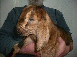 Сельскохозяйственные животные - козлят нубийских продаем, 0