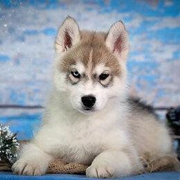 Собаки - Хаски с документами, 0