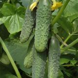 Семена - Кураж огурец 100 шт, 0