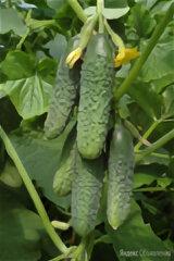 Кураж огурец 100 шт по цене 360₽ - Семена, фото 0