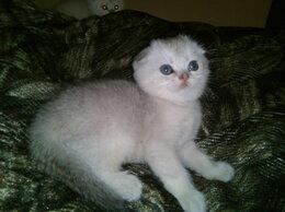 Кошки - Котята.Британские вислоухие шиншиллы , 0