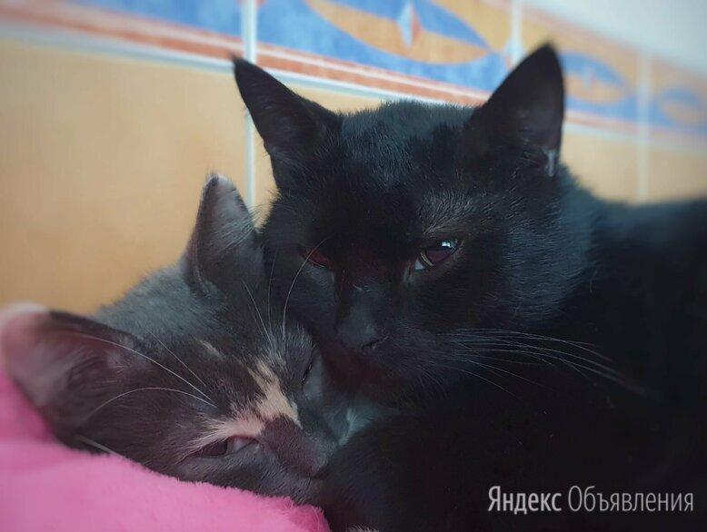 Сладкая парочка Твикс - Седрик и Грейси по цене 1₽ - Кошки, фото 0