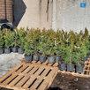 Саженцы туи смарагд дешевле чем в леруа по цене 270₽ - Рассада, саженцы, кустарники, деревья, фото 4