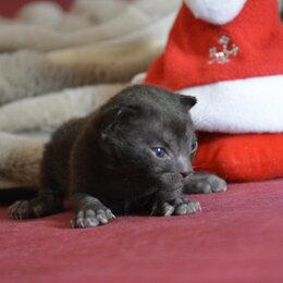 Кошки - Уральский рекс купить котёнка в Москве, 0