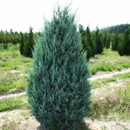 Рассада, саженцы, кустарники, деревья - Можжевельник саженцы из питомника, 0