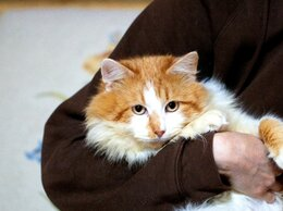 Кошки - Ласковый и нежный Хин ждёт особенную семью, 0