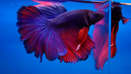 Аквариумные рыбки - Рыбка петушок Люкс Халфмуны, Слоноухие, Дельты, 0