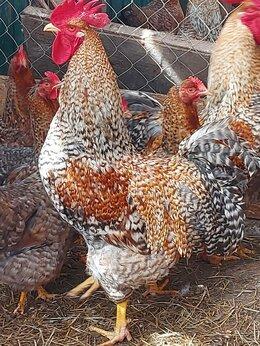 Сельскохозяйственные животные - куры породы билефельдер, 0