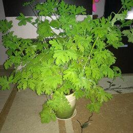 Комнатные растения - Герань лечебная, 0