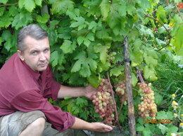 Рассада, саженцы, кустарники, деревья - Саженцы винограда, 0