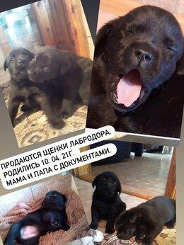 Собаки - Продаются щенки Лабрадора., 0