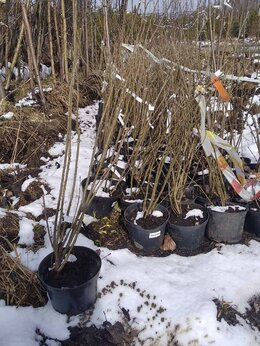 Рассада, саженцы, кустарники, деревья - Акация (Карагана) 20-40 см С3, 0