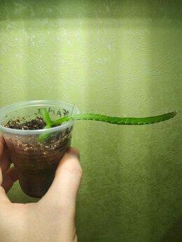 Комнатные растения - Питайя или питахайя-Драконий фрукт, 0