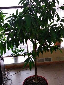 Комнатные растения - Фикус Amstel King  (амстел королевский), 0