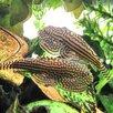 Псевдоскат мини Севеллия Линеолата мирная рыбка (растут до 5 см) по цене 200₽ - Аквариумные рыбки, фото 9