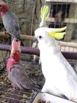 Птицы - Птенцы Какаду, 0