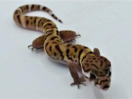 Рептилии - Колеоникс самец 06.04.20, 0