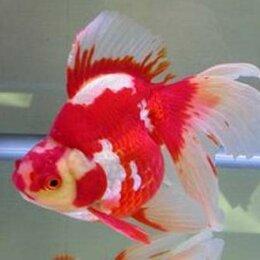Аквариумные рыбки - Золотая рыбка оптом и в розницу, 0