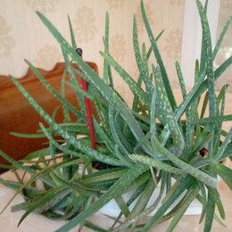 Комнатные растения - Алоэ (возраст больше 4 лет), 0
