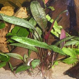 Растения для аквариумов и террариумов - Криптокорина Бласса (Cryptocoryne Cordata Var Blassii) растение для аквариума, 0