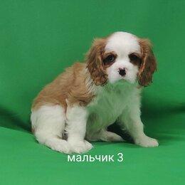 Собаки - кавалер кинг чарльз спаниель мальчик , 0