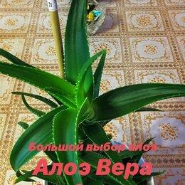 Комнатные растения - Алоэ Вера / Алоэ Столетник, 0