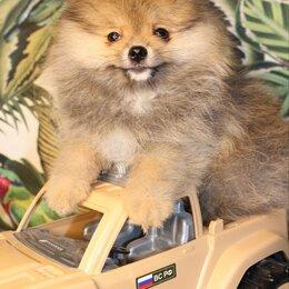 Собаки - Немецкий шпиц, 0