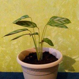 Комнатные растения - Ктенанта, 0