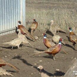 Птицы - Фазана охотничий , 0