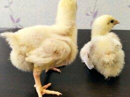 Сельскохозяйственные животные - Цыплята бройлеры разного возраста, 0