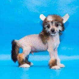Собаки - Китайская хохлатая собачка, 0
