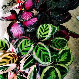 Комнатные растения - Огромные делёнки Калатей по невероятно вкусным ценам😋❤️🌹, 0
