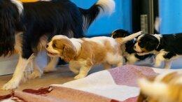 Собаки - Щенки Кавалер кинг чарльз спаниель, 0
