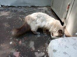 Животные - Найдена бирманская кошка, 0