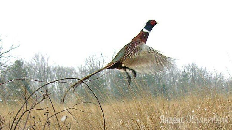 Продаём  Фазана охотничьего  по цене не указана - Сельскохозяйственные животные и птицы, фото 0