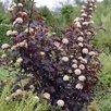"""Пузыреплодник калинолистный """"Диаболо"""" по цене 300₽ - Рассада, саженцы, кустарники, деревья, фото 1"""