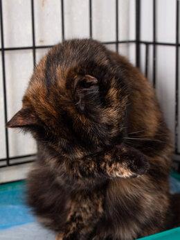 Кошки - Общительная и ручная кошка черепахового окраса…, 0