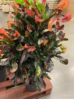 Комнатные растения - Кодиеум Кротон Мамми H 120-130 см, 0