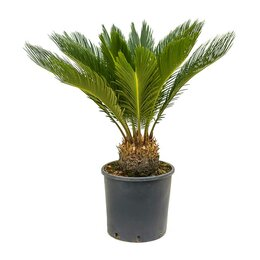 Комнатные растения - Цикас, саговая пальма Cycas Revoluta, 0