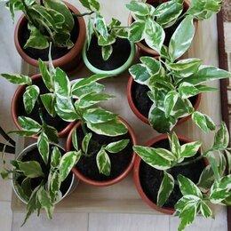 Комнатные растения - Цветы педилантус, 0