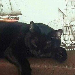 Кошки - Кошка британка 3 года, 0