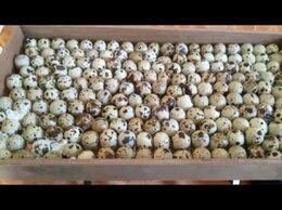 Птицы - Перепела / Яйцо инкубационное, 0