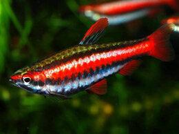 Аквариумные рыбки - Нанностомус Бекфорда красный, 0