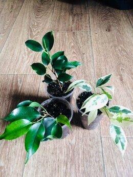 Комнатные растения - Фикус бенджамина Даниэль/Твайлайт, 0