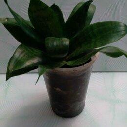 Комнатные растения - Цветок Сансевиерия Ханни, 0