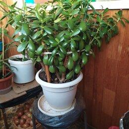 Комнатные растения - Денежное дерево (красула) , 0